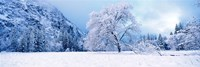 """Snow covered oak trees in a valley, Yosemite National Park, California, USA by Panoramic Images - 36"""" x 12"""""""