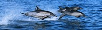 """Dolphins in the sea by Panoramic Images - 36"""" x 12"""""""