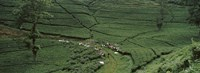 "Tea plantation, Java, Indonesia by Panoramic Images - 36"" x 12"""