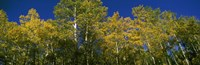 """Low angle view of trees, Colorado, USA by Panoramic Images - 36"""" x 12"""""""