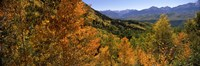 """Forest, Silverton, San Juan County, Colorado, USA by Panoramic Images - 36"""" x 12"""""""