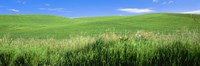 """Rolling green hill, Palouse, Whitman County, Washington State, USA by Panoramic Images - 36"""" x 12"""""""