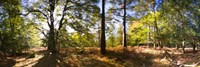 Trees in autumn at sunset, New Forest, Hampshire, England by Panoramic Images - various sizes