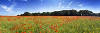 """Poppies in a field, Norfolk, England by Panoramic Images - 36"""" x 12"""" - $34.99"""
