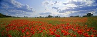 """Close Up of Red Poppies in a field, Norfolk, England by Panoramic Images - 36"""" x 12"""""""