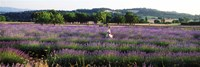 Woman walking with basket through a field of lavender in Provence, France Fine Art Print