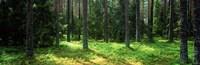 Pine forest, Uppland, Sweden Fine Art Print