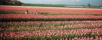 """Mother and daughters in field of red tulips, Alkmaar, Netherlands by Panoramic Images - 36"""" x 12"""""""