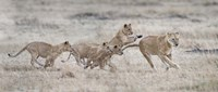 """Lioness (Panthera leo) and cubs at play, Kenya by Panoramic Images - 36"""" x 12"""", FulcrumGallery.com brand"""
