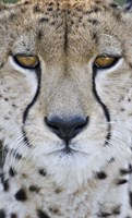 Close-up of a cheetah (Acinonyx jubatus), Tanzania Fine Art Print