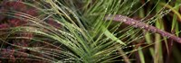 """Dew drops on grass by Panoramic Images - 36"""" x 12"""""""
