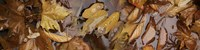 """Wet leaves by Panoramic Images - 36"""" x 12"""""""