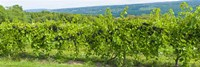 """Grapevines in a vineyard, Finger Lakes, New York State, USA by Panoramic Images - 36"""" x 12"""""""