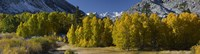 Quaking aspens (Populus tremuloides) in autumn, Californian Sierra Nevada, Bishop, California, USA Fine Art Print
