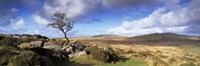 """Crooked tree at Feather Tor, Staple Tor, Dartmoor, Devon, England by Panoramic Images - 36"""" x 12"""""""