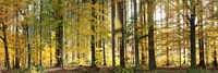 """Trees in autumn, Hohenlohe, Baden-Wurttemberg, Germany by Panoramic Images - 36"""" x 12"""""""
