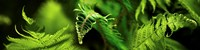 """Close-up of ferns by Panoramic Images - 48"""" x 12"""""""