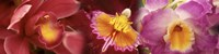 Details of red and violet Orchid flowers Fine Art Print