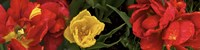 """Close-up of red and yellow tulips by Panoramic Images - 48"""" x 12"""""""