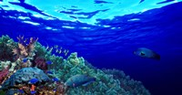 """Underwater view of Longfin bannerfish (Heniochus acuminatus) with Red Firefish (Nemateleotris magnifica) and soft corals by Panoramic Images - 36"""" x 12"""""""