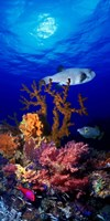 """Underwater view of Bristly puffer fish (Arothron hispidus) with triggerfish and Anthias Fishes by Panoramic Images - 12"""" x 36"""""""