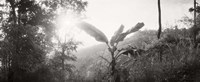 """Sunlight through trees in a forest in black and white, Chiang Mai Province, Thailand by Panoramic Images - 36"""" x 12"""""""