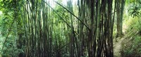 "Bamboo forest, Chiang Mai, Thailand by Panoramic Images - 36"" x 12"", FulcrumGallery.com brand"