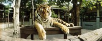 "Tiger (Panthera tigris) in a tiger reserve, Tiger Kingdom, Chiang Mai, Thailand by Panoramic Images - 36"" x 12"""