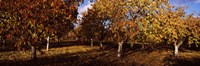 "Almond Trees during autumn in an orchard, California, USA by Panoramic Images - 36"" x 12"""