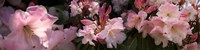Close-up of pink rhododendron flowers Fine Art Print