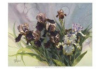 Hadfield Irises IV Fine Art Print