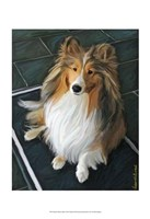 Sheltie Bred to Bark Fine Art Print