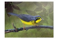 Canada Warbler Fine Art Print