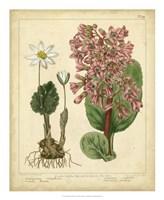 """Garden Flora III by Sydenham Edwards - 18"""" x 22"""""""