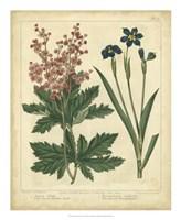 """Garden Flora VII by Sydenham Edwards - 18"""" x 22"""""""