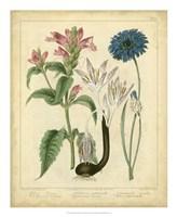 """Garden Flora VIII by Sydenham Edwards - 18"""" x 22"""""""