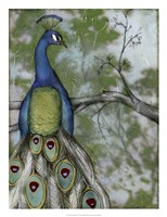 "Peacock Reflections II by Jennifer Goldberger - 20"" x 26"""