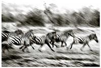 "Stampeding Zebra by Colby Chester - 37"" x 25"""