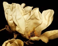 Buttercream Magnolia II by Rachel Perry - various sizes, FulcrumGallery.com brand