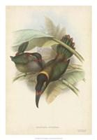 "Tropical Toucans VI by John Gould - 18"" x 26"""