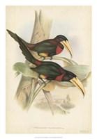 Tropical Toucans VII Fine Art Print