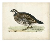 Morris Pheasants VI Fine Art Print