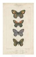 """Pauquet Butterflies V by P. Pauquet - 14"""" x 22"""""""