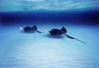 "Southern Stingrays Grand Caymans by Panoramic Images - 16"" x 11"""