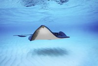 """Close-up of a Southern stingray (Dasyatis americana), Grand Cayman, Cayman Islands by Panoramic Images - 16"""" x 11"""", FulcrumGallery.com brand"""