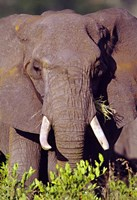 """Elephant Tanzania Africa by Panoramic Images - 16"""" x 24"""""""