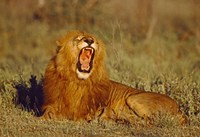 """Roaring Lion Tanzania Africa by Panoramic Images - 16"""" x 11"""", FulcrumGallery.com brand"""