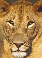 """Close-up of a lioness, Tanzania by Panoramic Images - 18"""" x 24"""""""