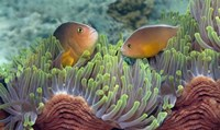 Two Skunk Anemone fish and Indian Bulb Anemone Fine Art Print