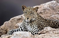 """Close-up of a leopard lying on a rock by Panoramic Images - 16"""" x 10"""", FulcrumGallery.com brand"""